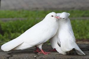 کبوتر با کبوتر باز با باز
